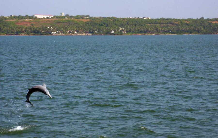 dolphin-spotting-in-goa
