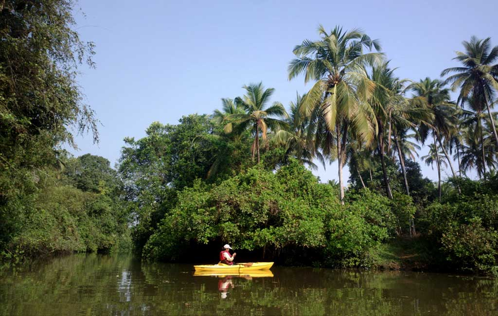 Mangrove Kayaking backwater Goa