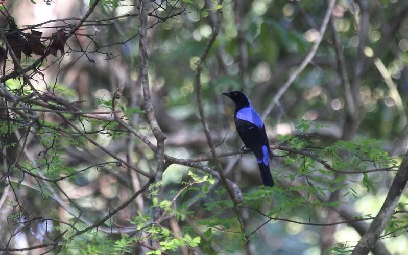 Asian-Fairy-Blue-bird