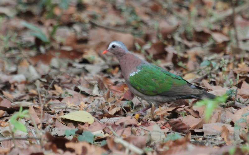 Emerald-Dove-at-Cotigao