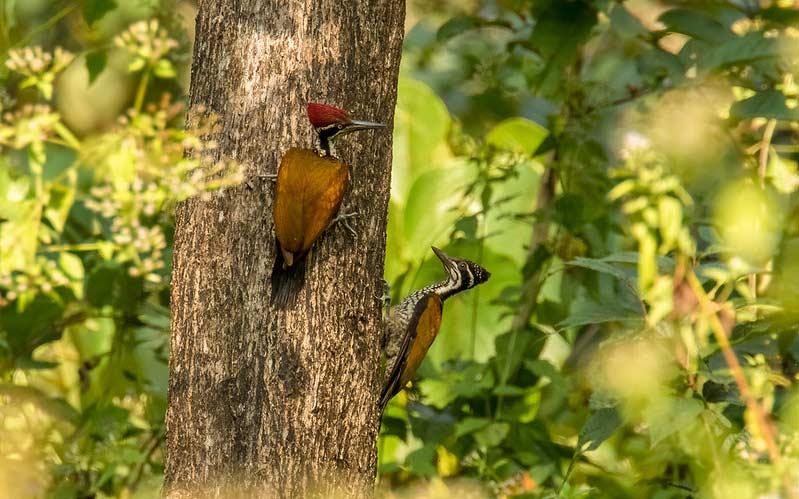 Greater-goldenback-Goa