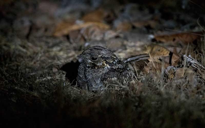 Jungle-Nightjar-at-Cotigao