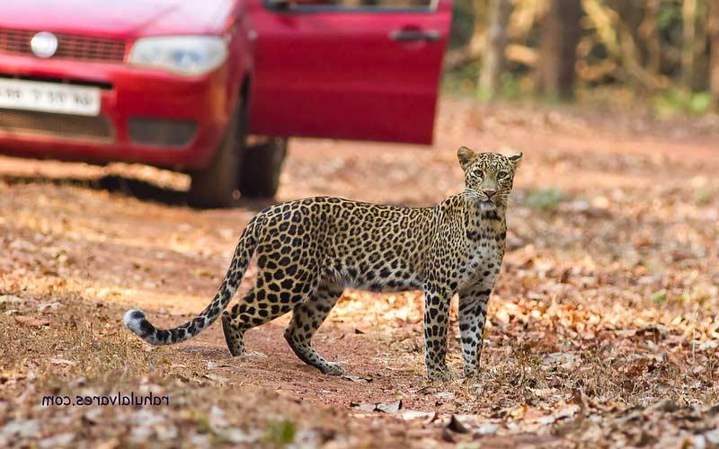 Leopard-in-Goa-at-Cotigao