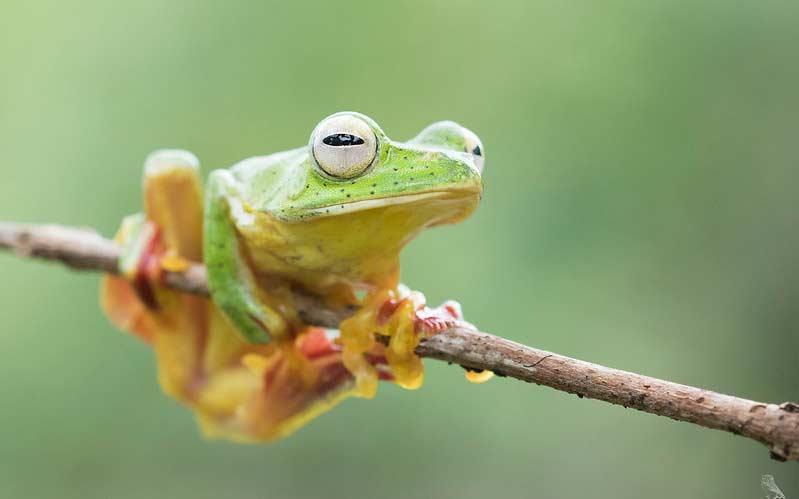 Malabar-Gliding-Frog