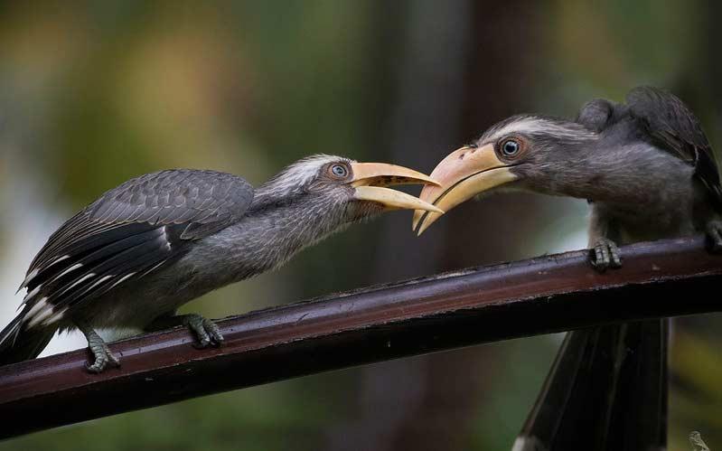Malabar-Grey-Hornbill