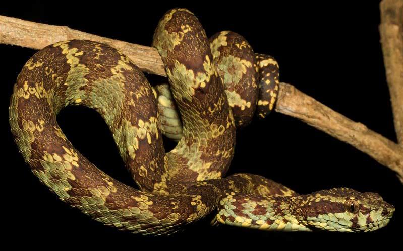 Trimeresurus-malabaricus-Malabar-Pit-Viper